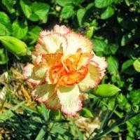 Λουλούδια που σπέρνουμε το φθινόπωρο (εικόνες)